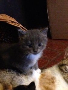 a gray kitten with white paws