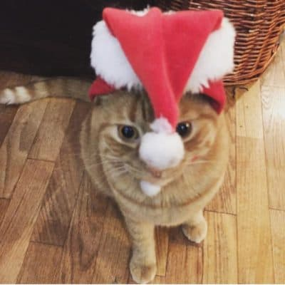 Picture of a ginger-colored cat wearing a Christmas hat and looking confused